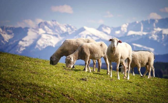 В Алагирском районе увеличилось поголовье овец