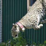 В Северной Осетии в дикую природу выпустили двух молодых леопардов